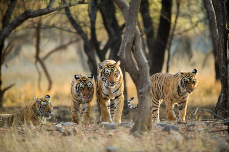 Tiger family a stroll one early morning at Ranthambhore National Park, Rajasthan, India