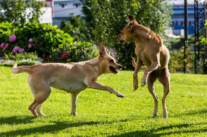 View of brown Labrador dogs fighting with each other