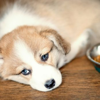 8 Possible Reasons Your Dog Isn't Eating