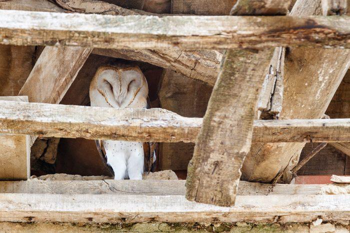 Barn Owl. Tyto alba.