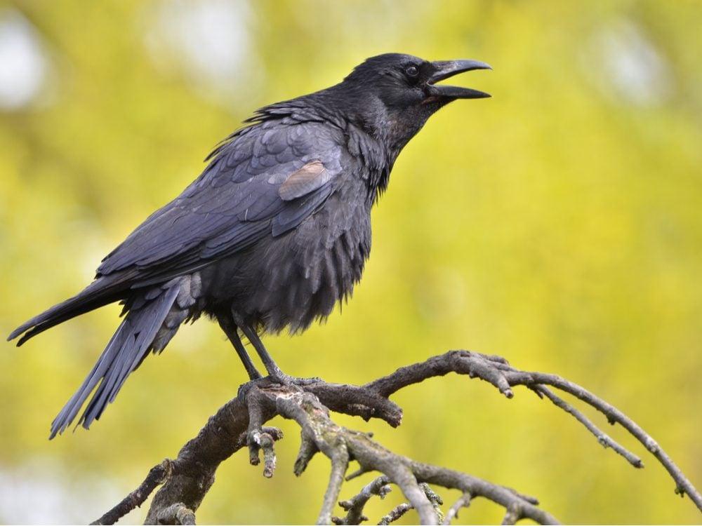 funny tweets crow