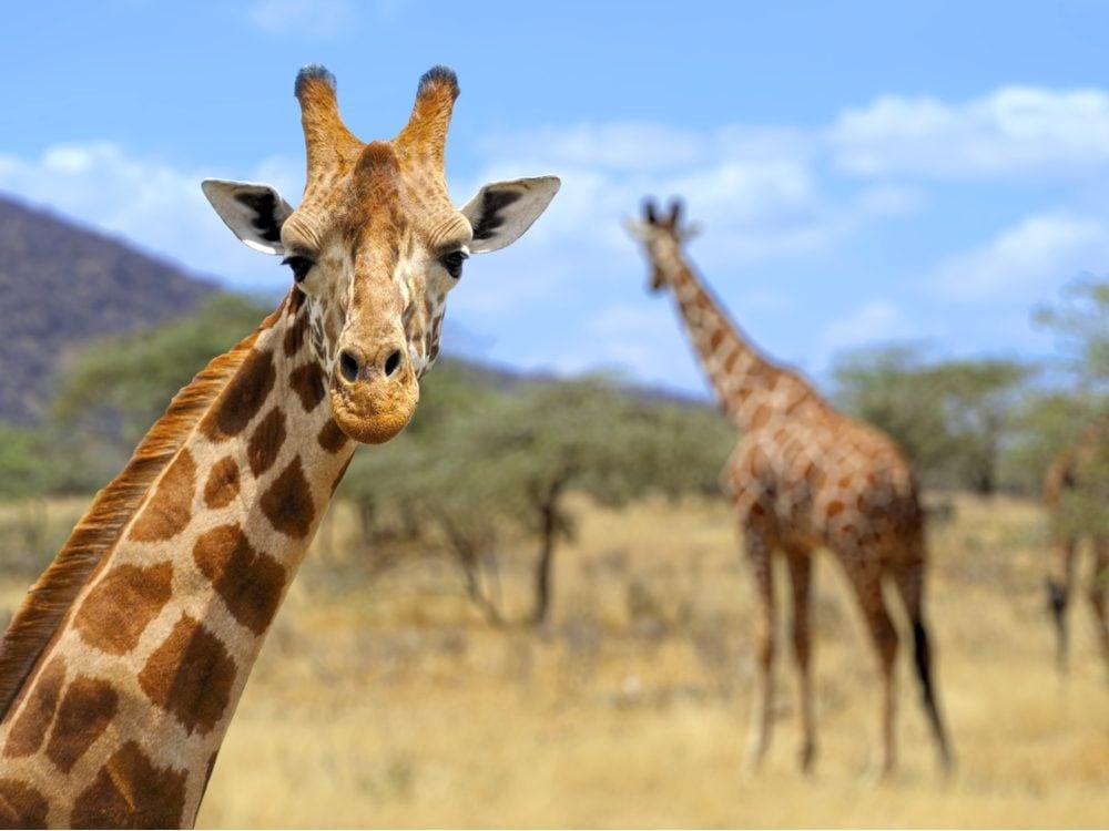 funny tweets two giraffes