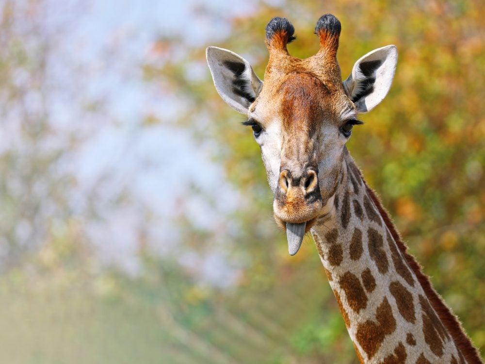 funny tweets giraffe