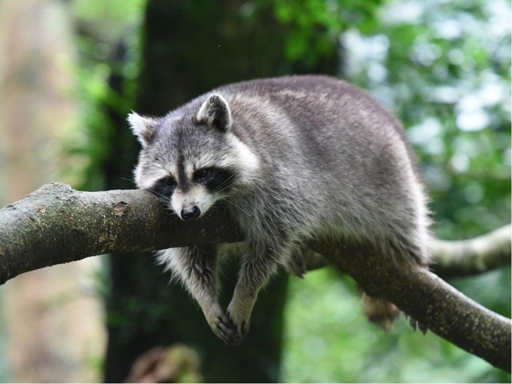funny tweets raccoon