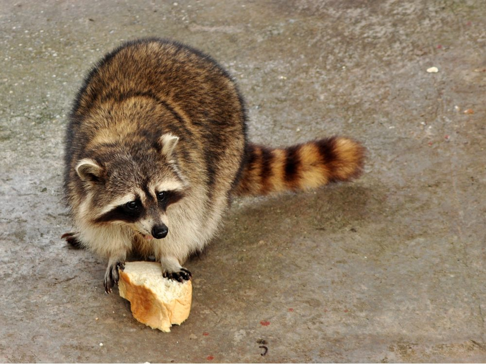 funny tweets racoon with bread