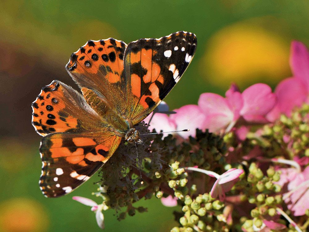 A butterfly sipping flower nectar