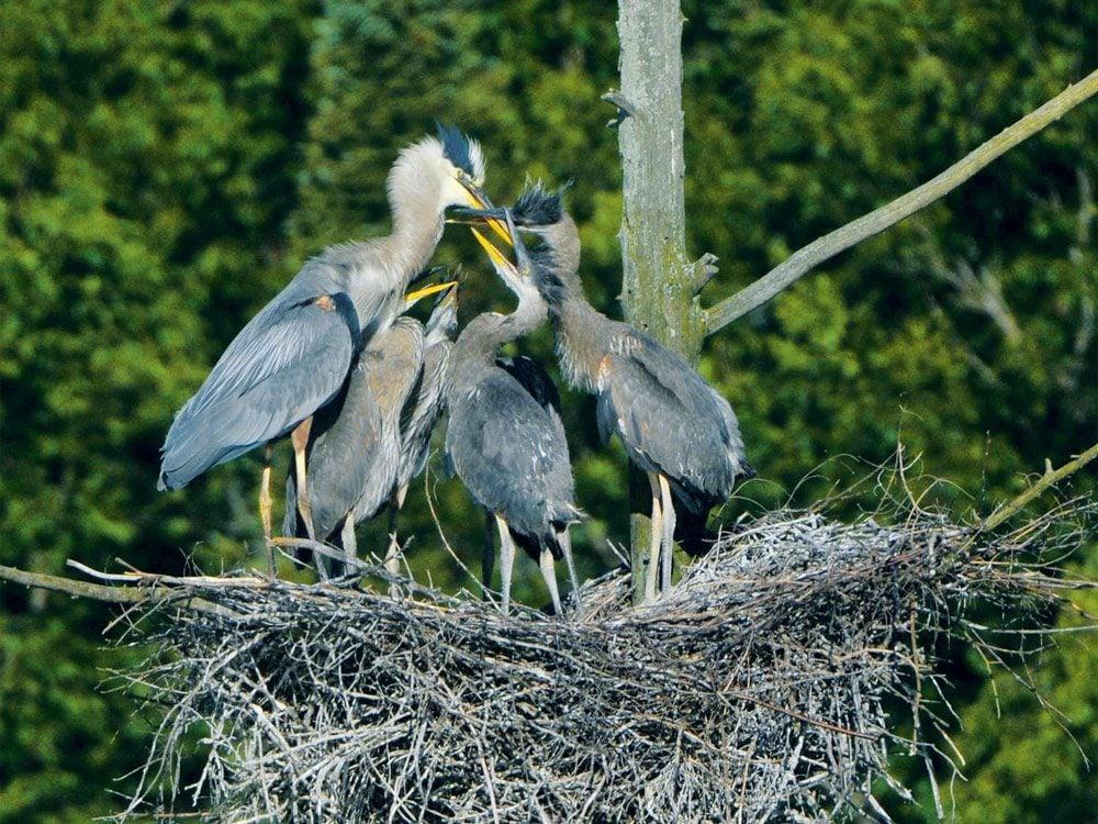 Great blue heron feeding frenzy