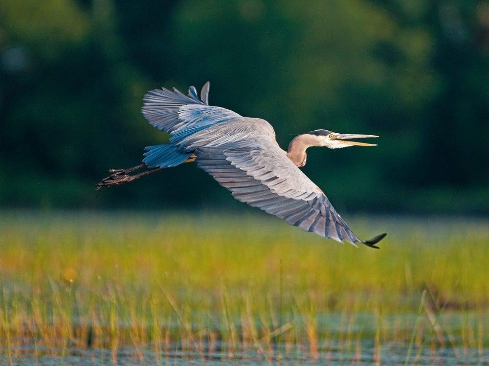 A great blue heron in flight