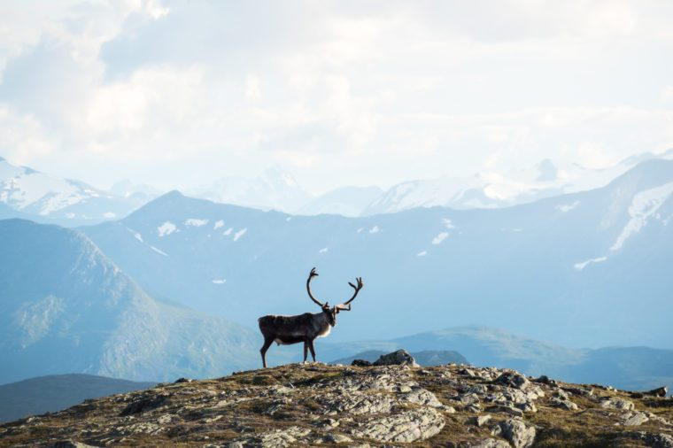 Big reindeer with antlers in the foreground of a scenic mountain view in the Norwegian highlands
