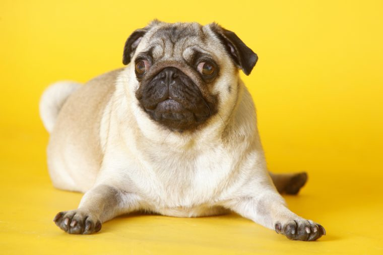 pug dog with yellow background in studio