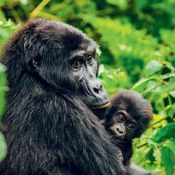 Meet the Wildlife Veterinarians Saving Mountain Gorillas in Central Africa