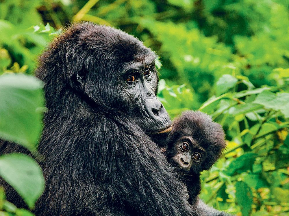 save gorillas (gorilla with baby)