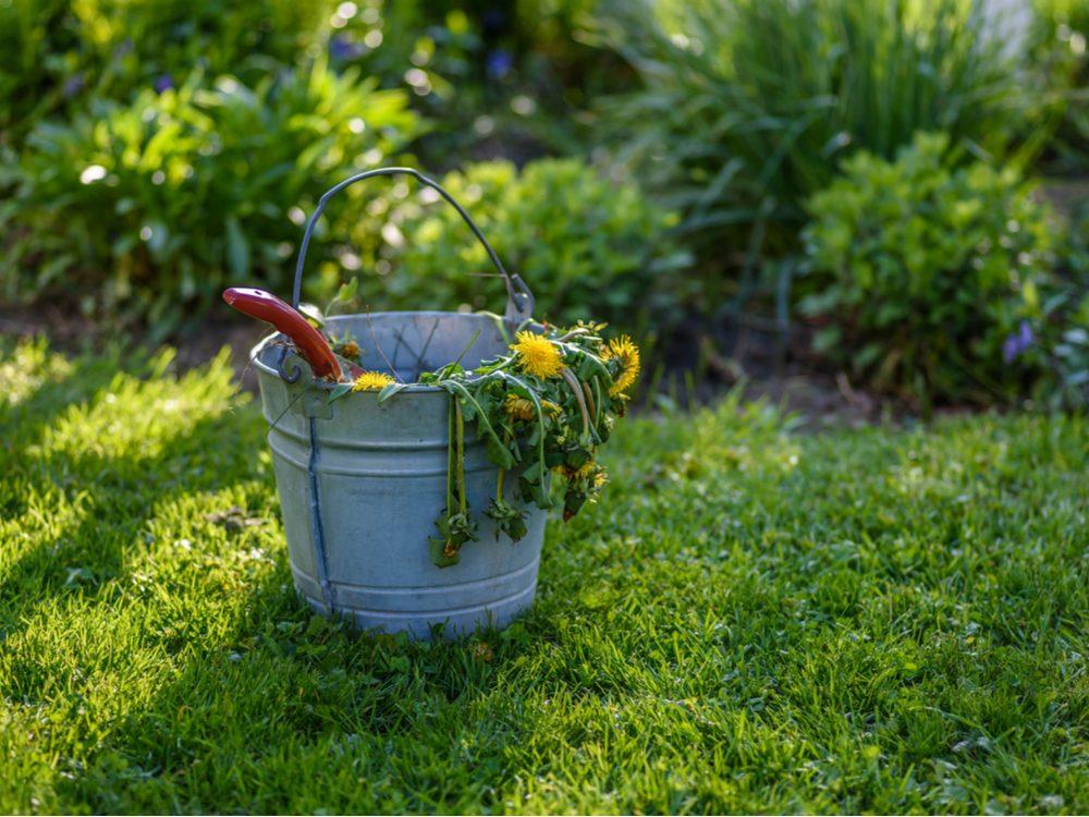 Bucket full of dandelions and weeds