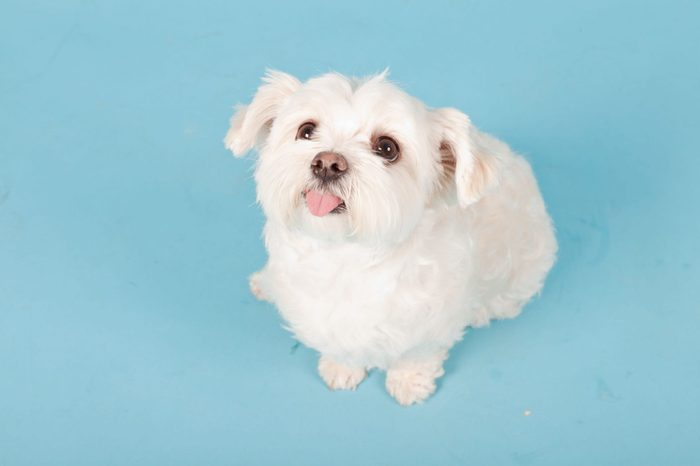White maltese dog isolated on light blue background. Studio shot.