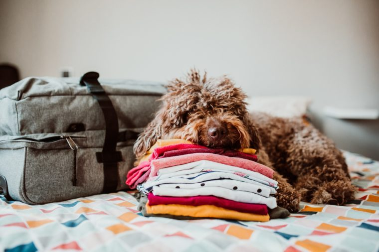 Sweet spanish water dog ready to go on a trip this summer vacation with her human family. Sitting on top of the bed with a grey suitcase and travel accessories. Petfriendly destinations. Lifestyle