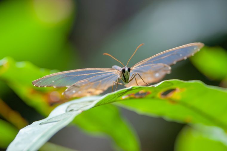 Amber Phantom (Haetera piera) butterdfly in Tambopata National Reserve, Peru