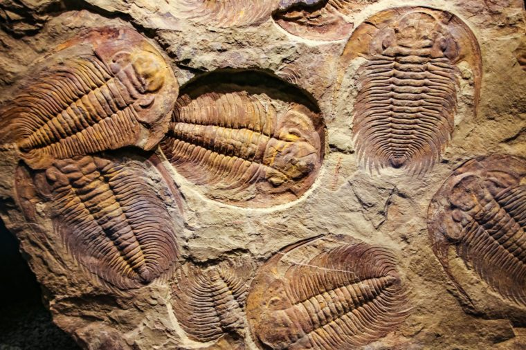The imprint of the ancient trilobites in a stone. 500 million Year old Trilobite. Trilobites meaning three lobes are a fossil group of extinct marine arachnomorph arthropods, form the class Trilobita.