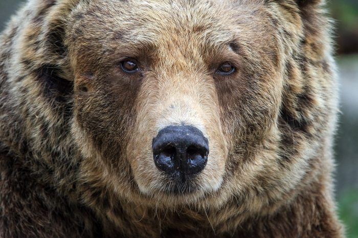 Beautiful close up portrait of the Eurasian brown bear (Ursus arctos arctos), one of the most common subspecies of the brown bear