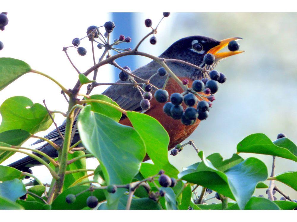 garden photography blueberry robin