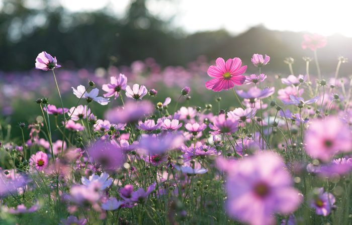 science quiz questions - Field of cosmos flower