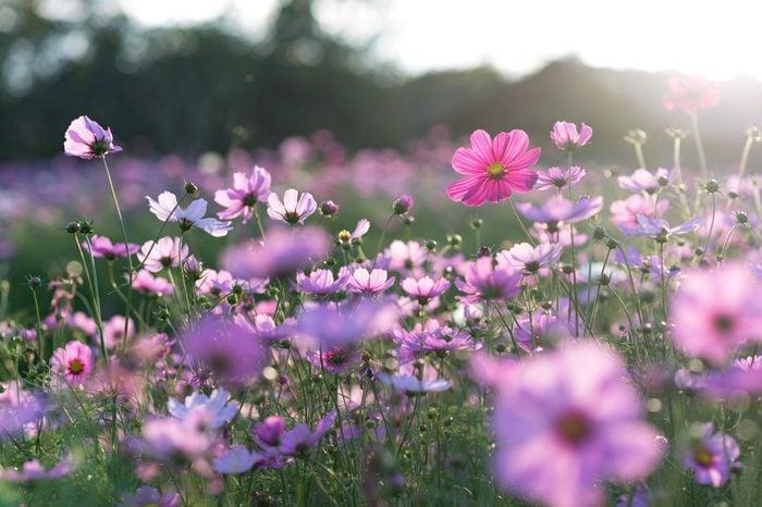 Field of cosmos flower
