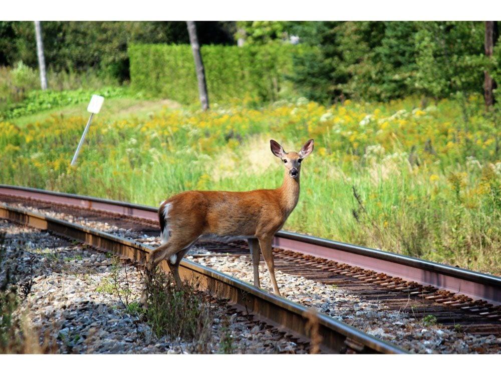 Deer on tracks