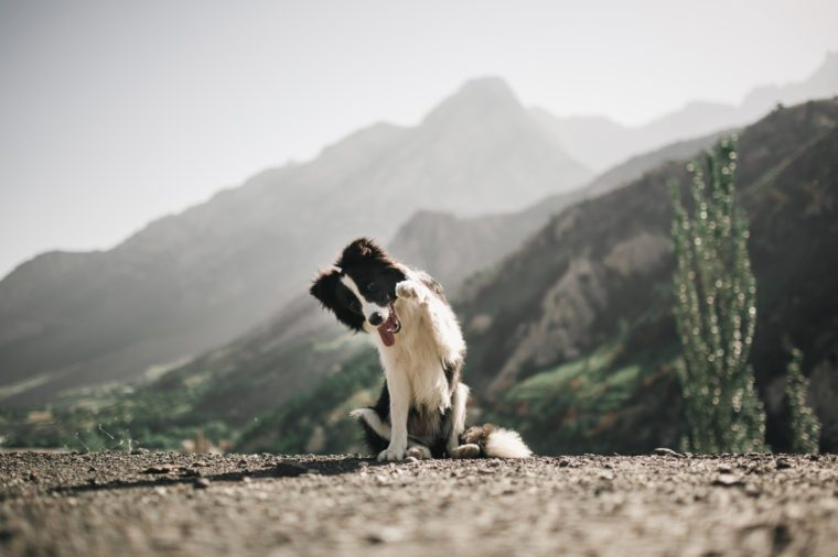 beautiful black and white dog border collie sit and ask food do a trick on a field with flowers and look in camera. in the background mountains. space for text