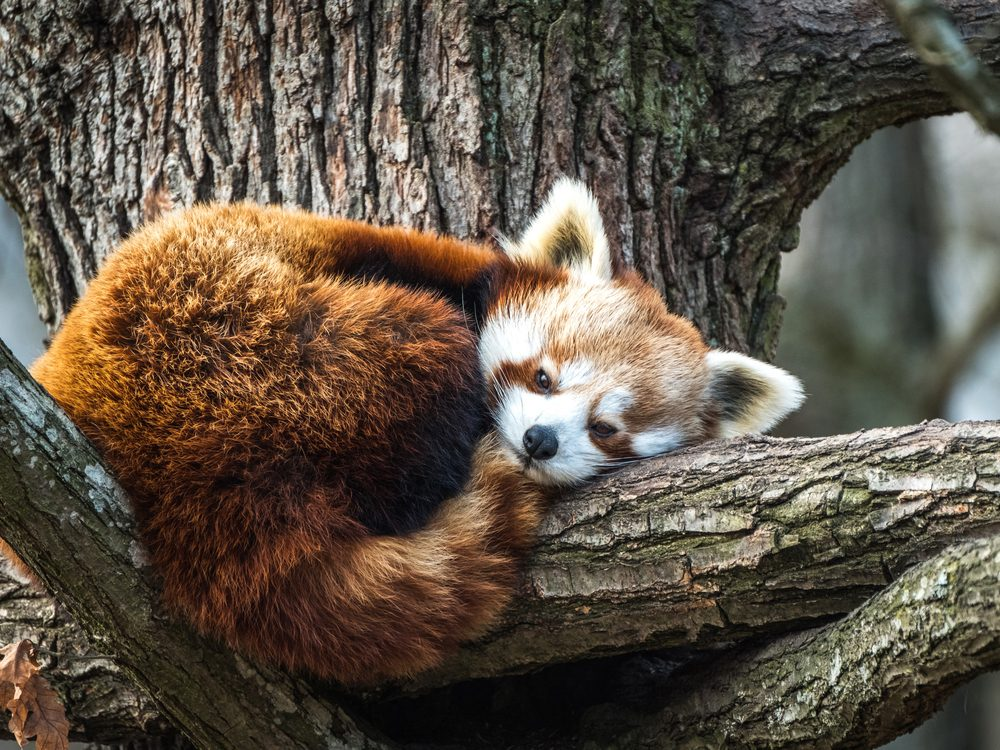 Exactly how many red pandas are left