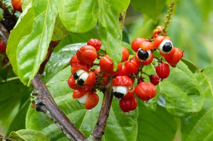 November 21, 2018. Guarana shrubs with fruits (Paullinia cupana). Location:Maués. Amazon, Brazil