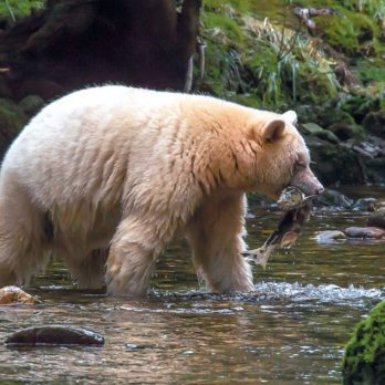 Searching for Spirit Bears in British Columbia's Great Bear Rainforest