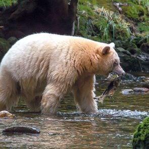 White spirit bears