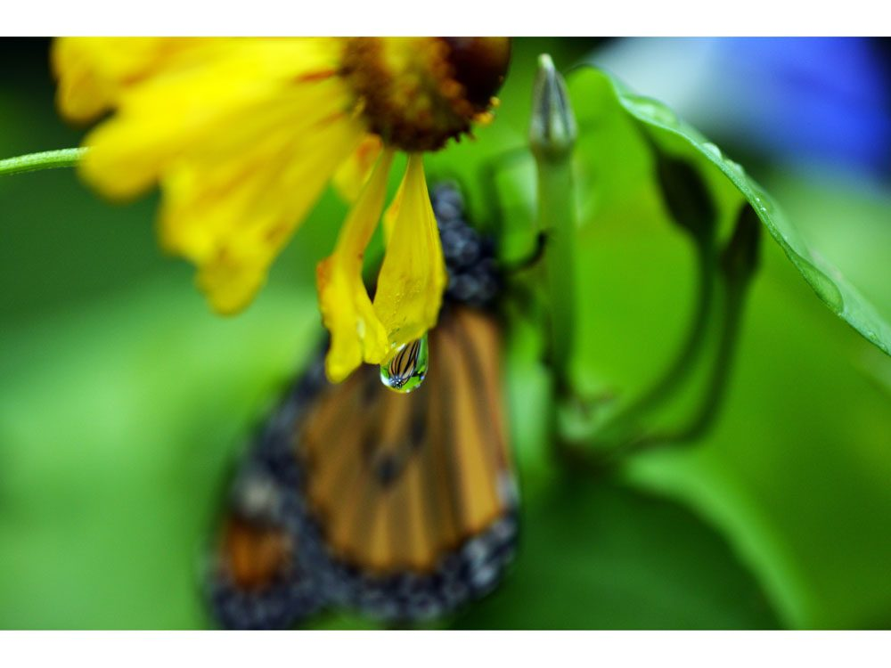 garden photography monarch raindrop