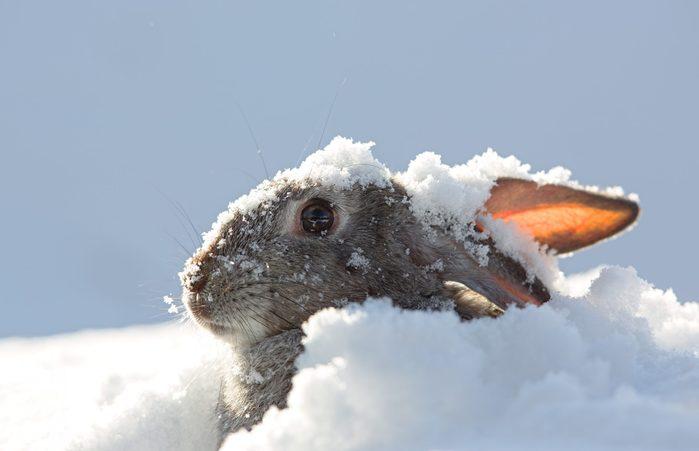 science quiz questions - snow rabbit, hare winter