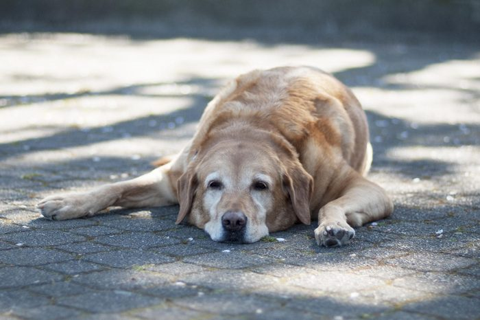 A tired old dog lays in the shadows on a hot summer day.