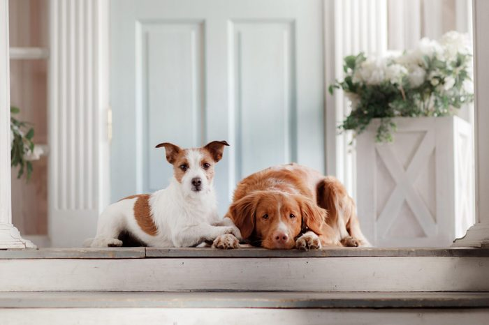 two dogs are lying on the porch. Little Jack Russell Terrier and a Nova Scotia Duck Tolling Retriever