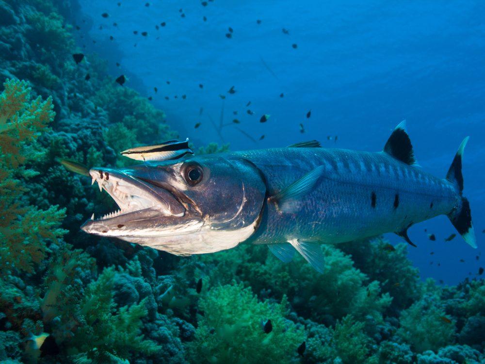 speed barracuda
