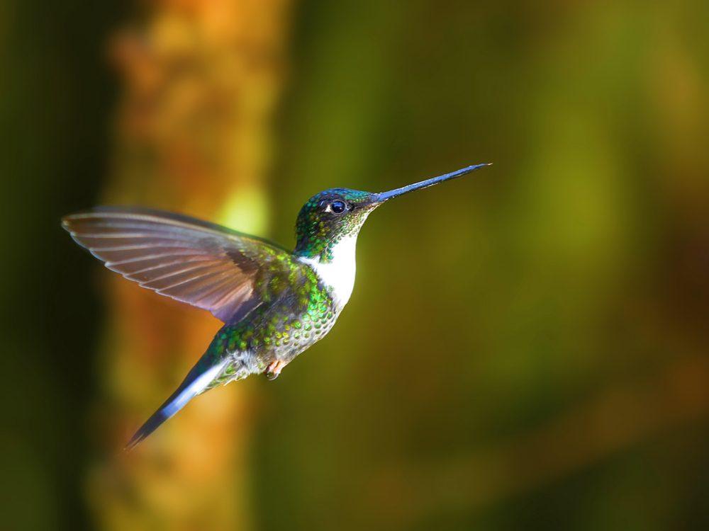 speed hummingbird