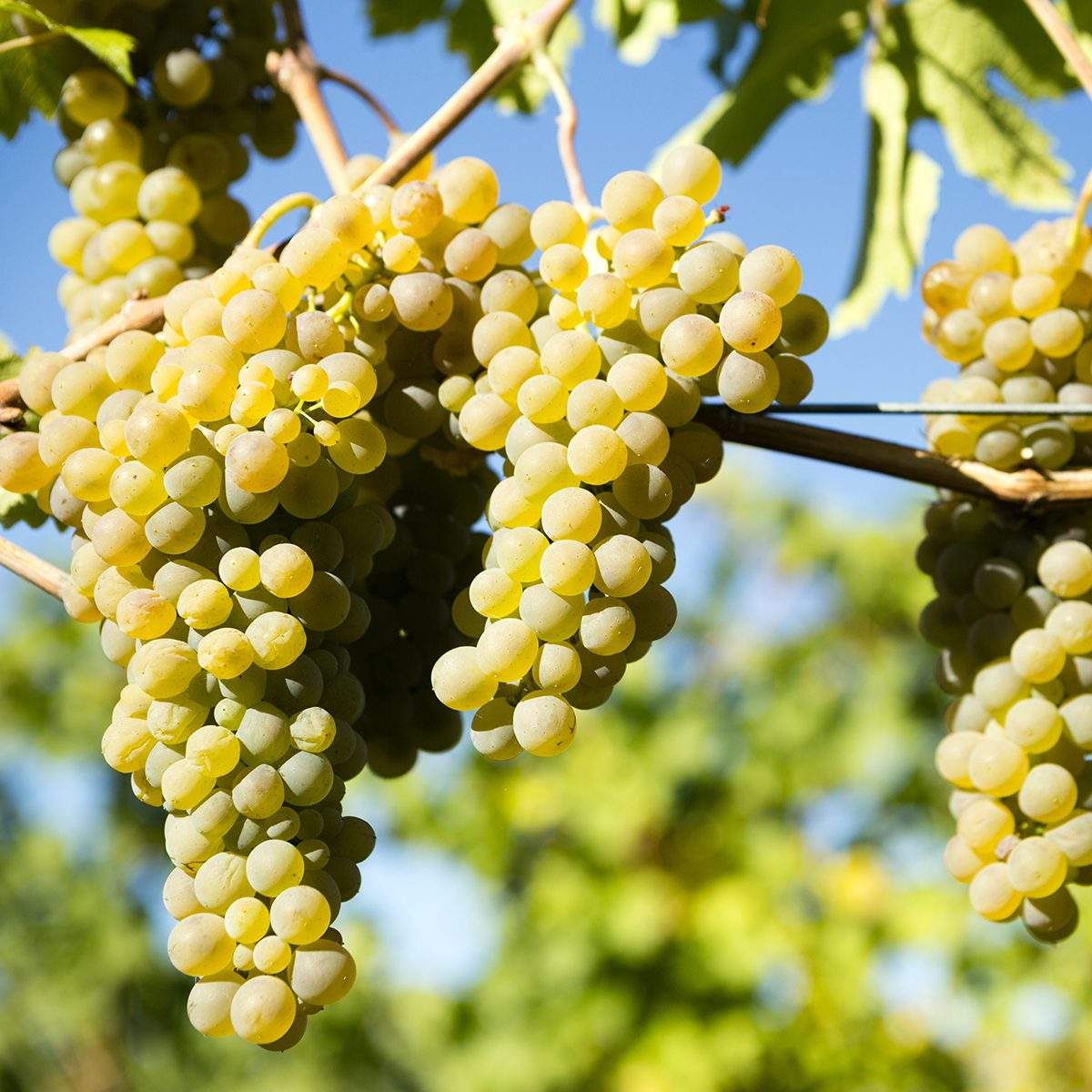 Viognier is a white wine grape variety