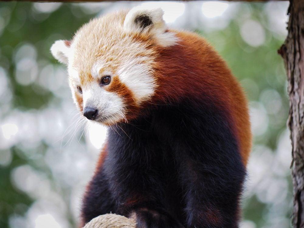 Where do the remaining red pandas live
