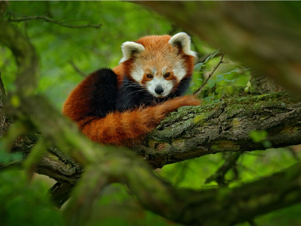 Why are red pandas endangered?