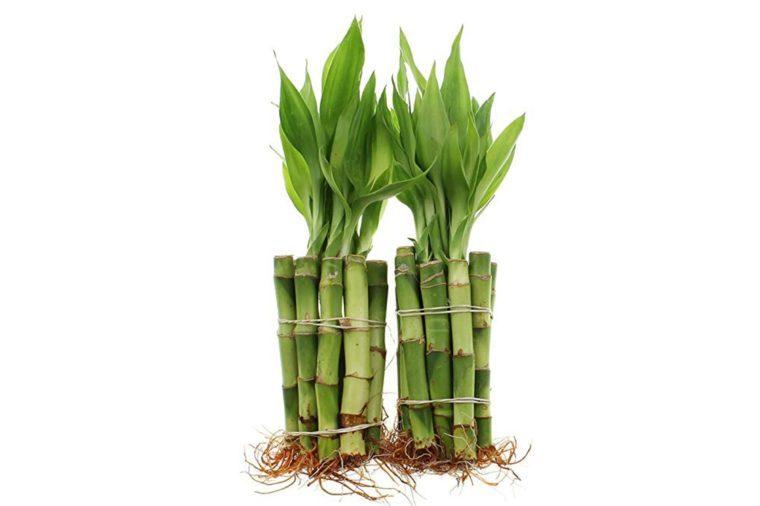 05_Lucky-bamboo