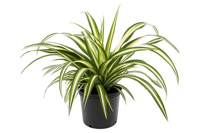 09_Spider-plant