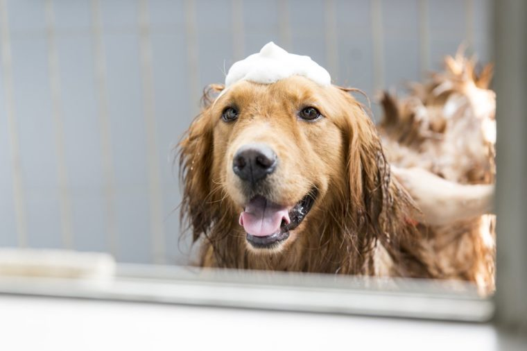 The golden retriever taking a bath