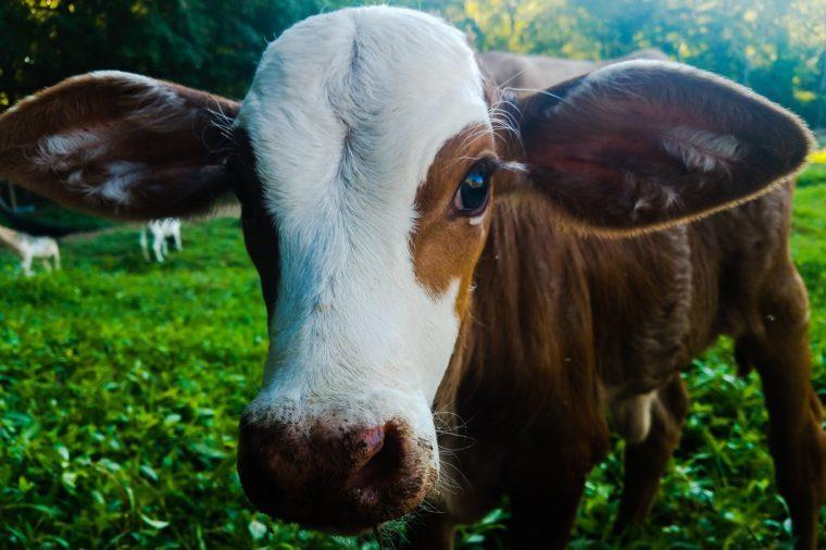 big cow ears