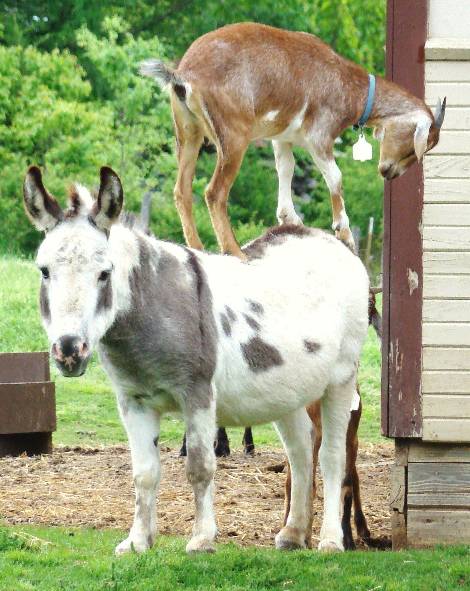 hitchhiking goat
