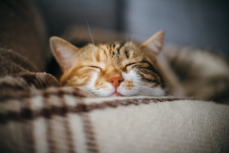 Front view of cute beautiful cat sleeping in her dreams on a classic British patterned quilt