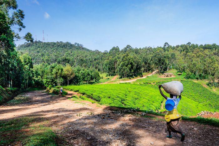 Tea plantation and tropical forest, sunny day, Rwanda,Nyungwe, selective focus