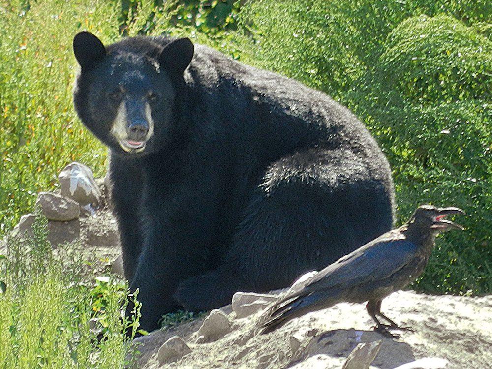Black bear at Jan Lake, Saskatchewan