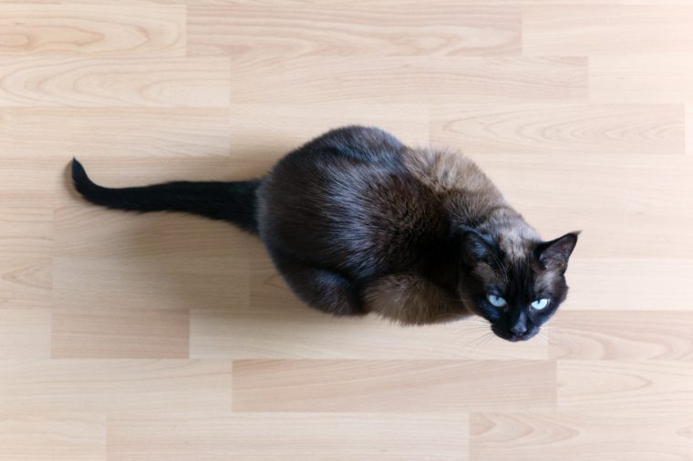 overhead view of siamese cat sitting on laminate floor looking up with blue eyes