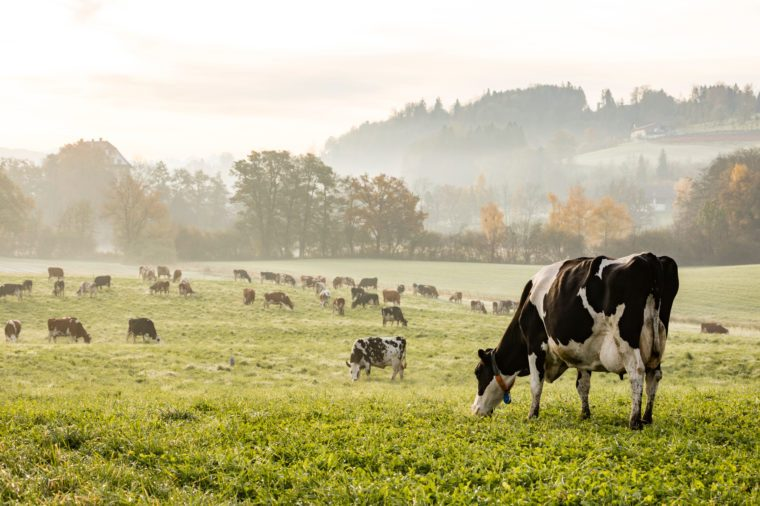 Red and black Holstein cows are grazing on a cold autumn morning on a meadow in Switzerland